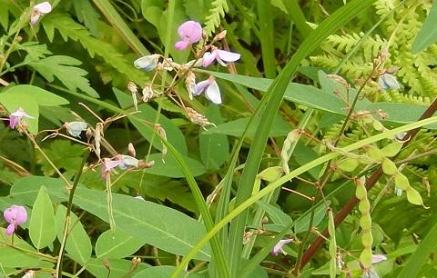 Arechinonusubitohagi28912