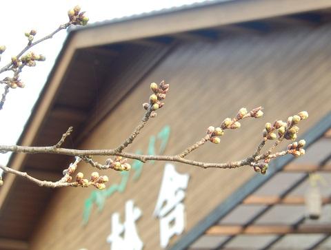 Sakura29330tubomi1