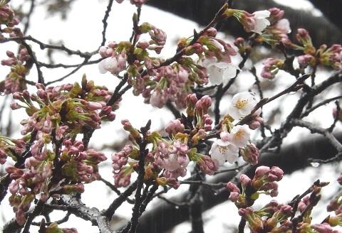 Sakura2947kaika1