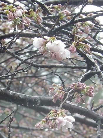 Sakura2947kaika2