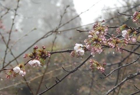 Sakura2947kaika3