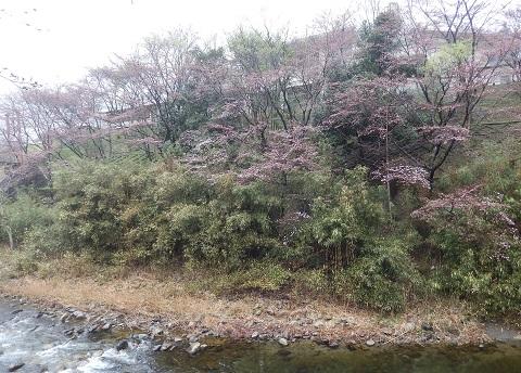 Sakurataigan2947kaikasusumu