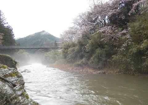 Sakurataigan2948kawazousui