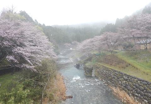 Sakura2949hasiyori