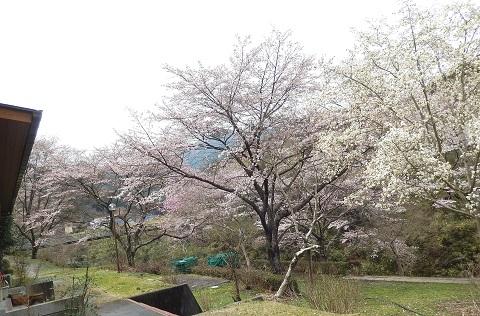Sakura2949honkanmae