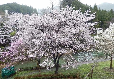 Sakura29411berandayori