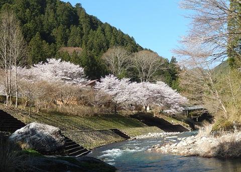 Sakura29413kawa2