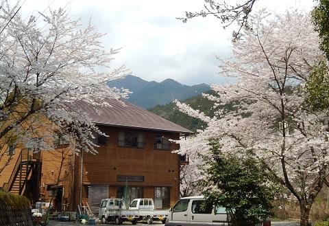 Sakura29415honkan