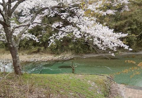 Sakura29415kawahanabira