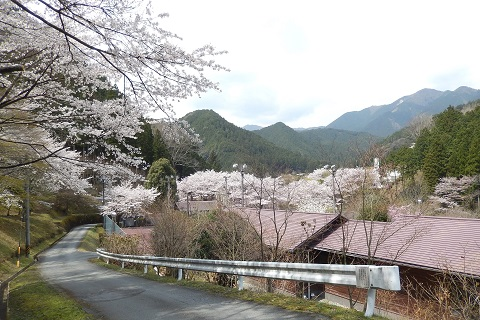 Sakura29415rindoyori