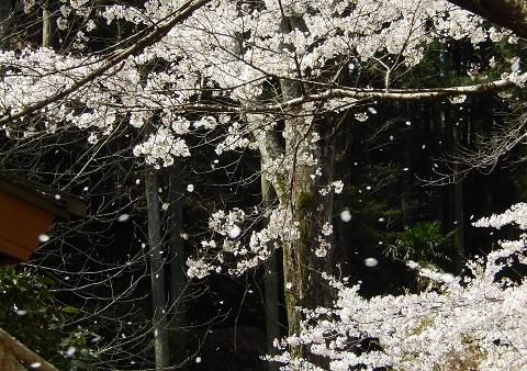 Sakura29416fubuki