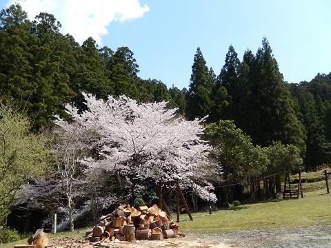 Sakura29416koppa