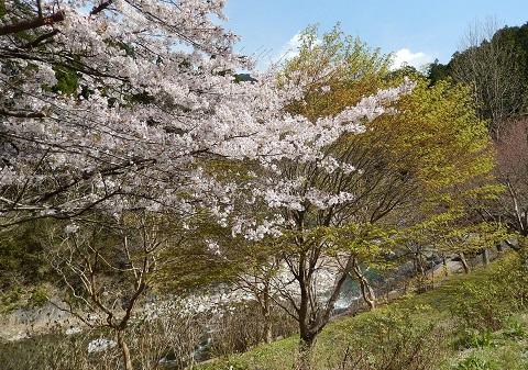 Sakura29416momiji