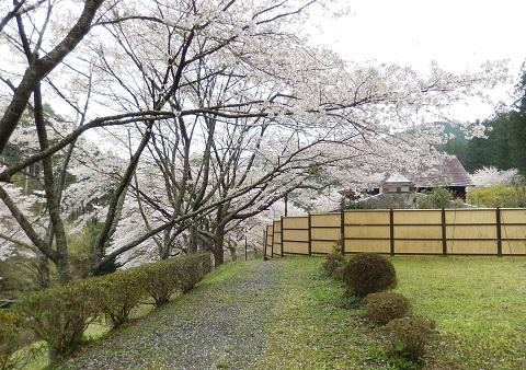 Sakura29417namiki