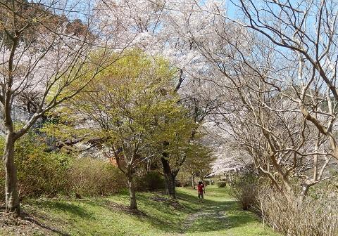 Sakuranamiki29416momiji