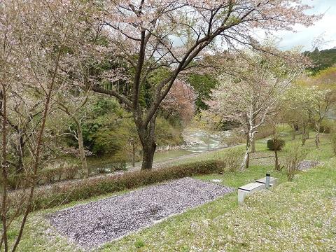 Sakura29418hanajutan