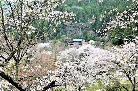 Ohno29412sakurakuwabara7