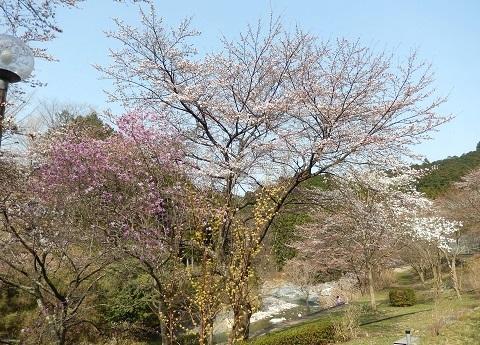 Sakura30329hanakyouen_2