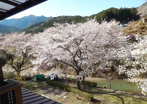 Sakura30330nikaikara1