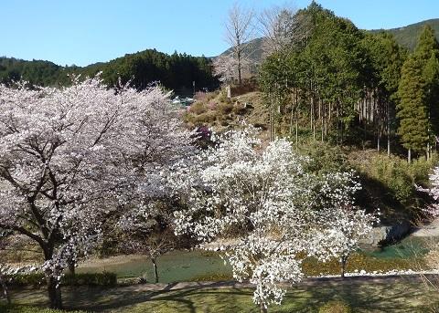 Sakura30330nikaikara2
