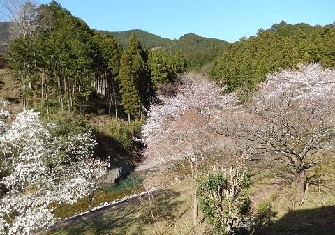 Sakura30330nikaikara3