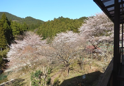 Sakura30330nikaikara4