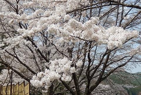 Sakura3042hanaup