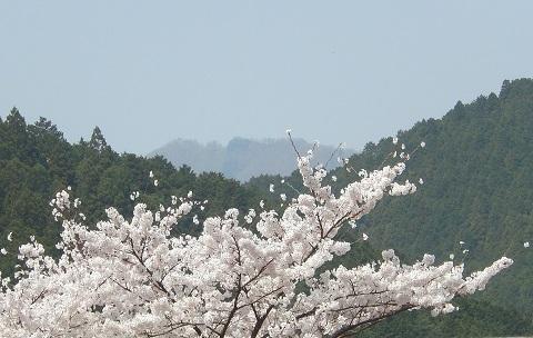 Sakura3042takamiyama