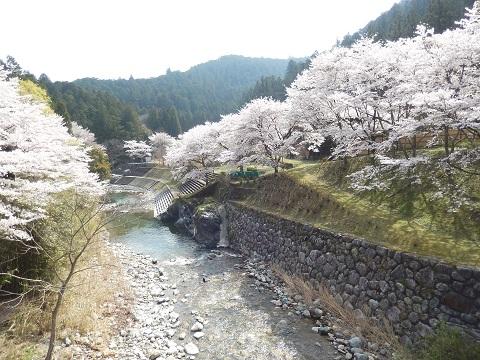 Sakura3043hasikara
