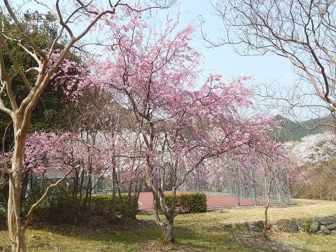 Sidarezakura3042