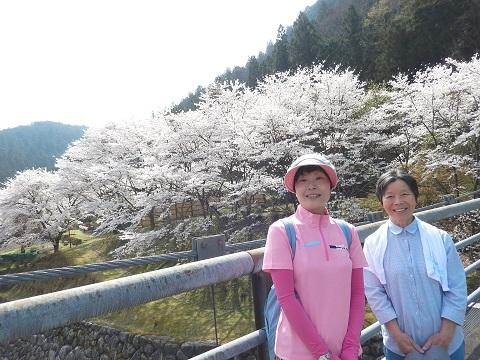 Tuji3043hasisakura