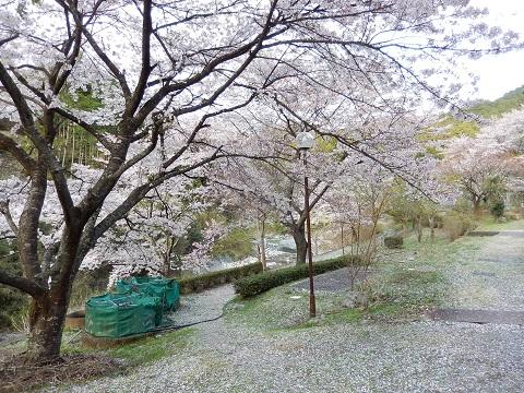 Sakura3045chirikake1