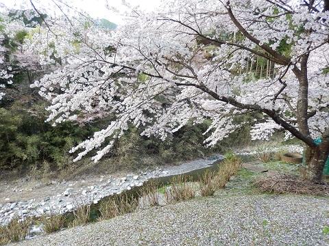 Sakura3045chirikake2