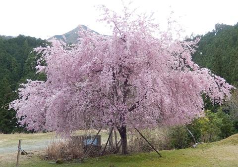 Sidarezakura3045kuwabara
