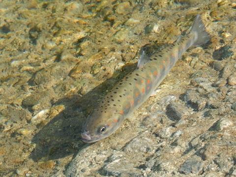 Kaamagohoryu3033amago1