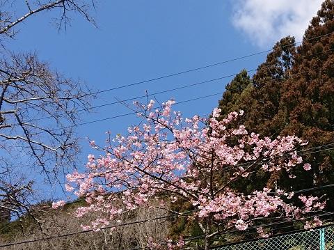 Sakura2019226noguchi
