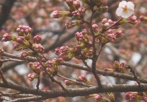 Sakura2019328kaika1