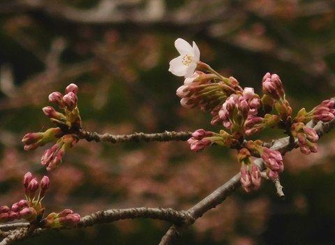 Sakura2019328kaika2