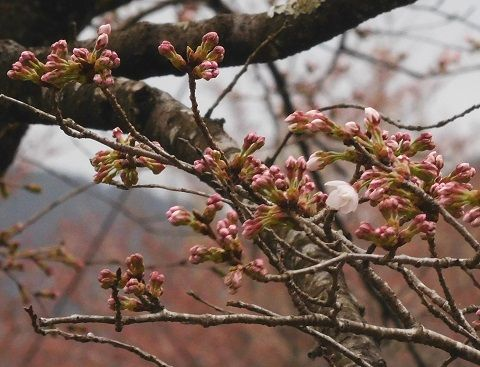 Sakura2019328kaika3