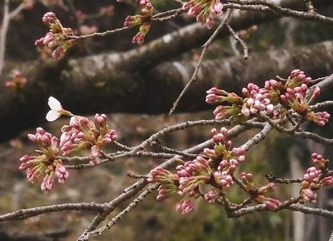Sakura2019328kaika4