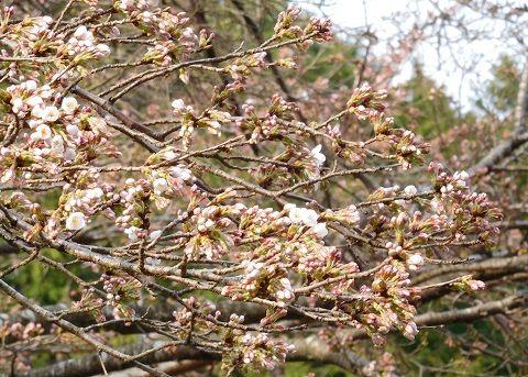 Sakura2019329ichibu