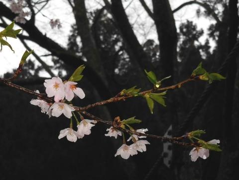 Sakura2019410amatubu