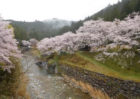 Sakura2019410hasiyori