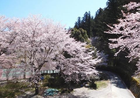 Sakura2019413madgenki