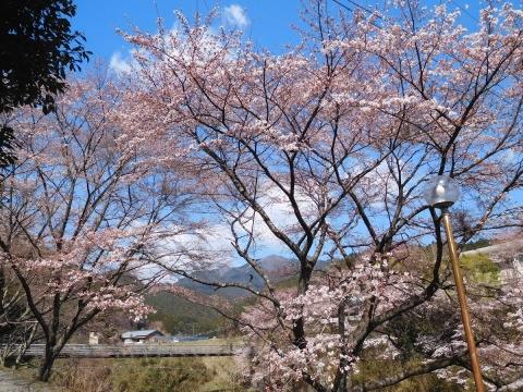 Sakura201944hasi