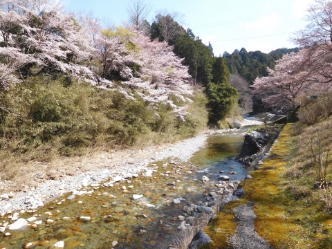 Sakura201944taigankawa