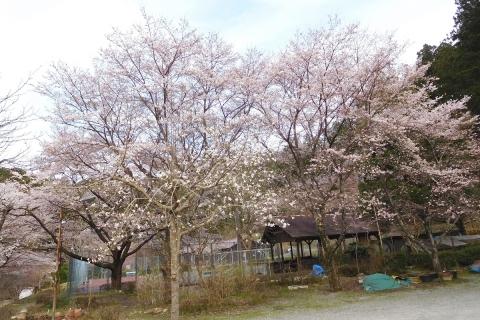 Sakura201945chushajo