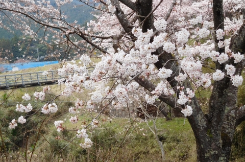 Sakura201945mankai