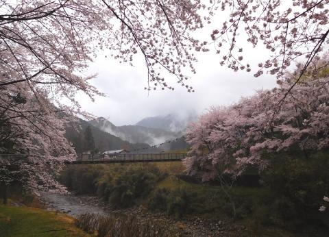 Sakura201948asagiri