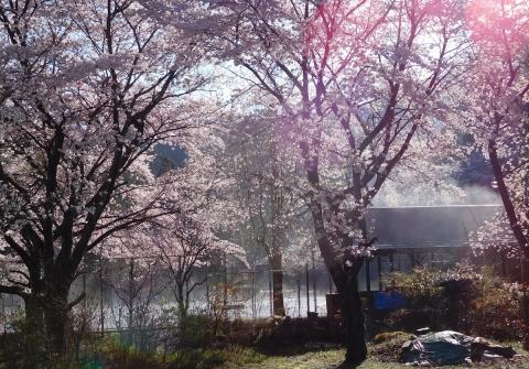 Sakura201948jouki